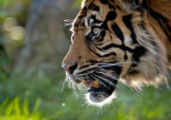Indien Tiger